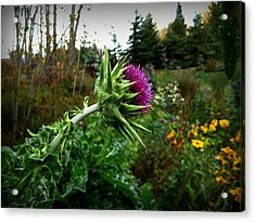 Reaching Milk Thistle Acrylic Print by Shirley Sirois