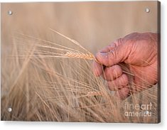 Ready To Harvest Acrylic Print by Cindy Singleton