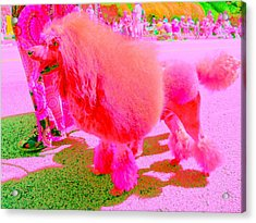 Really Pink Poodle Acrylic Print by Randall Weidner