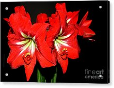 Red Amaryllis Twins Acrylic Print by Pravine Chester