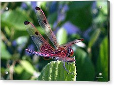 Acrylic Print featuring the photograph Red And Black Dragonfly by George Bostian