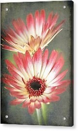 Red And Cream Gerbera Acrylic Print by Fiona Messenger