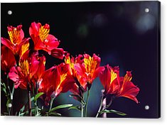 Red And Gold Acrylic Print by Peter Jenkins