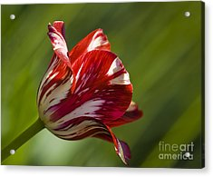 Red And White   Rouge Et Blanc Acrylic Print by Nicole  Cloutier Photographie Evolution Photography