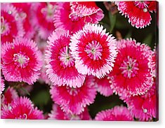 Acrylic Print featuring the photograph Red And White Fringed Bachelor Buttons by Peg Toliver