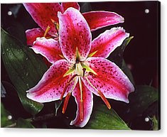 Red And White Lilie Acrylic Print