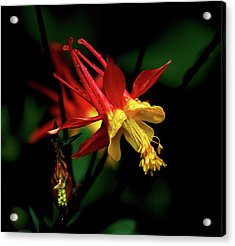 Red And Yellow Columbine Acrylic Print