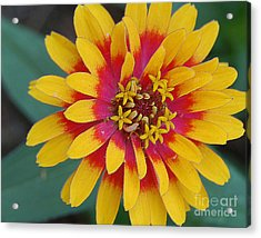 Red And Yellow Flower Acrylic Print