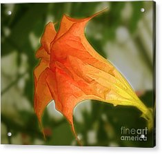 Red Angels Trumpet Flower Acrylic Print