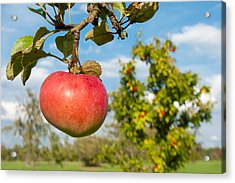 Red Apple On Branch Of Tree Acrylic Print by Matthias Hauser