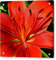 Red Asiatic Lily Acrylic Print by Bruce Bley