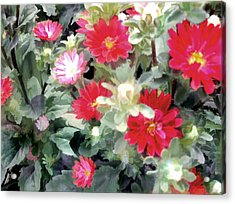 Red Asters Acrylic Print by Elaine Plesser