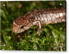 Red-backed Salamander Acrylic Print by Ted Kinsman