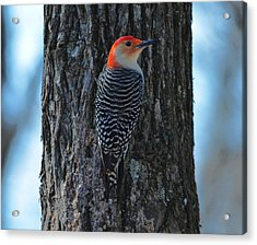 Acrylic Print featuring the photograph Red-bellied Woodpecker by Brian Stevens