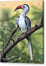 Red-billed Hornbill Acrylic Print by Tony Beck