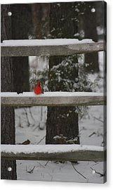 Acrylic Print featuring the photograph Red Bird by Stacy C Bottoms