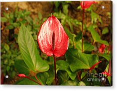 Red Bloom Acrylic Print by J Jaiam