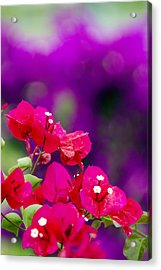 Red Bougainvillaeas Acrylic Print by Ron Dahlquist