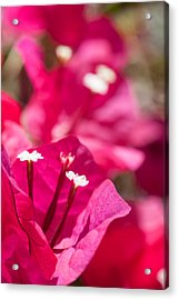 red Bougainvillea Acrylic Print by Ralf Kaiser