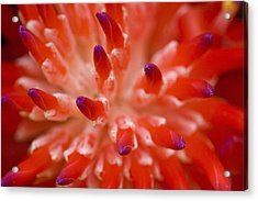 Red Bromeliad Acrylic Print by Rich Franco
