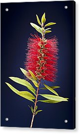 Red Brush Acrylic Print by Kelley King