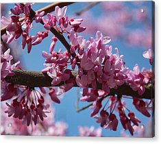 Acrylic Print featuring the photograph Red Bud In Bloom by Kathleen Holley