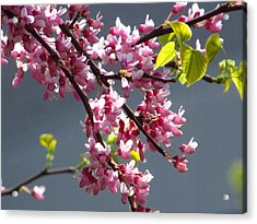 Red Bud In Blooms Acrylic Print by Alfred Ng