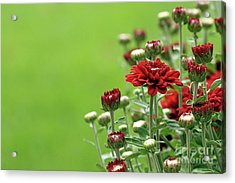 Acrylic Print featuring the photograph Red Chrysanthemum by Denise Pohl