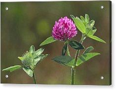 Red Clover Blossom Acrylic Print