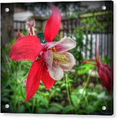 Red Columbines Acrylic Print