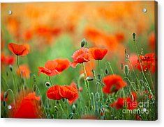 Red Corn Poppy Flowers 03 Acrylic Print