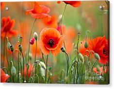 Red Corn Poppy Flowers 05 Acrylic Print