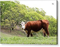 Red Cow Acrylic Print
