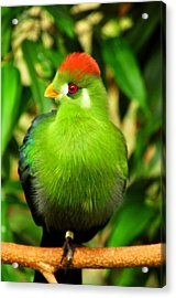 Red Crested Turaco Acrylic Print by Puzzles Shum