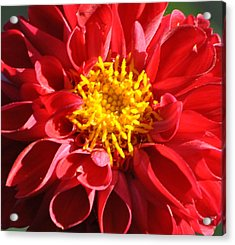 Acrylic Print featuring the photograph Red Dahlia by Jodi Terracina