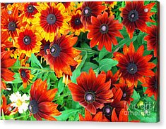Acrylic Print featuring the photograph Red Daisies  by Bill Thomson