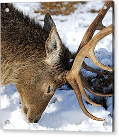 Red Deer Stag Forages For Food Closeup Portrait  Acrylic Print by John Kelly