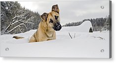 Red Dog Sits In A Snowdrift Acrylic Print