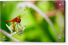 Red Dragon Fly Acrylic Print