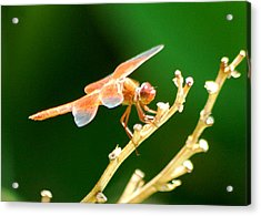Red Dragonfly Acrylic Print by Meeli Sonn
