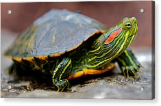 Red Eared Slider Turtle Side View Acrylic Print by Kelly Riccetti