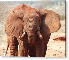 Red Elephant Drinking Acrylic Print by Alan Clifford