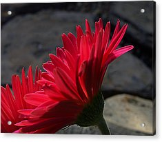 Red English Daisy Acrylic Print by Joe Schofield