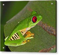Red-eyed Leaf Frog Acrylic Print