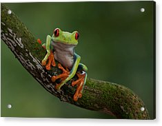 Red-eyed Tree Frog Acrylic Print