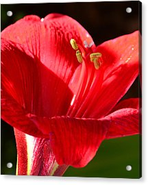 Acrylic Print featuring the photograph Red Faced Lily by Tanya Tanski