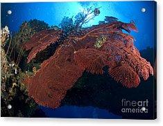 Red Fan Cora With Sunburst, Papua New Acrylic Print by Steve Jones