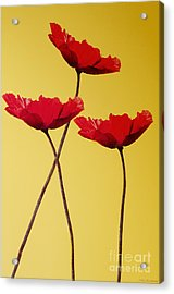 Red-flowered Corn Poppies Acrylic Print