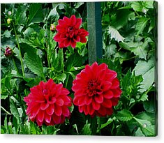 Red Flowers Acrylic Print by Kathy Long
