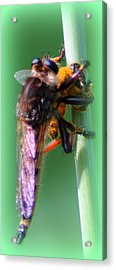 Red-footed Cannibal Fly With His Prey Acrylic Print by Maureen  McDonald
